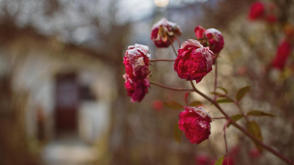 Frozen Roses by jorago