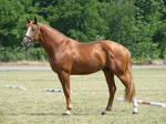 Chestnut Stallion from Hungary