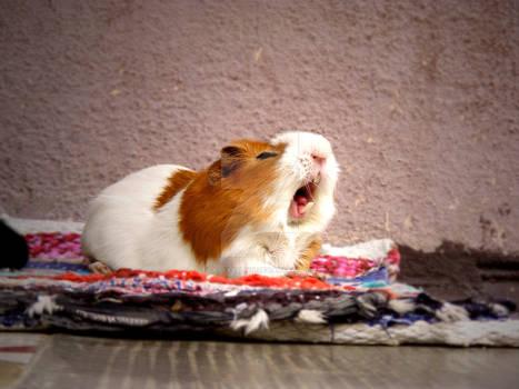 Guinea pig yawning
