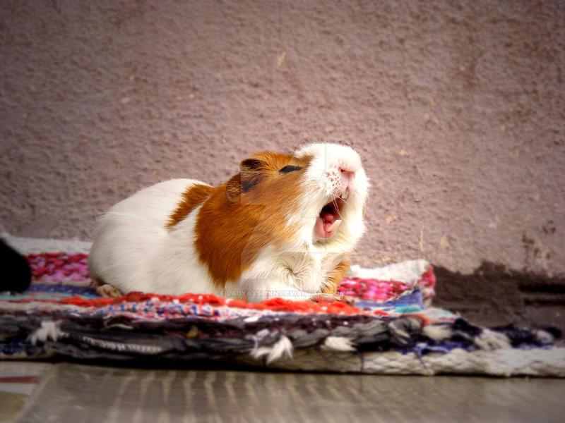Guinea pig yawning by LadyAyslinn