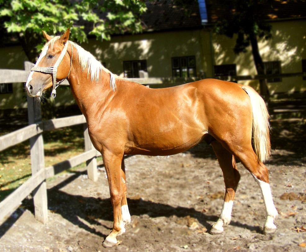 Erosaf's Foaling Thread Palomino_stallion_by_ladyayslinn-d45in4i