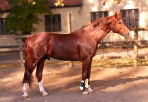 Chestnut stallion - Vajk I. by LadyAyslinn