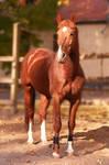 Chestnut stallion - Vajk V.