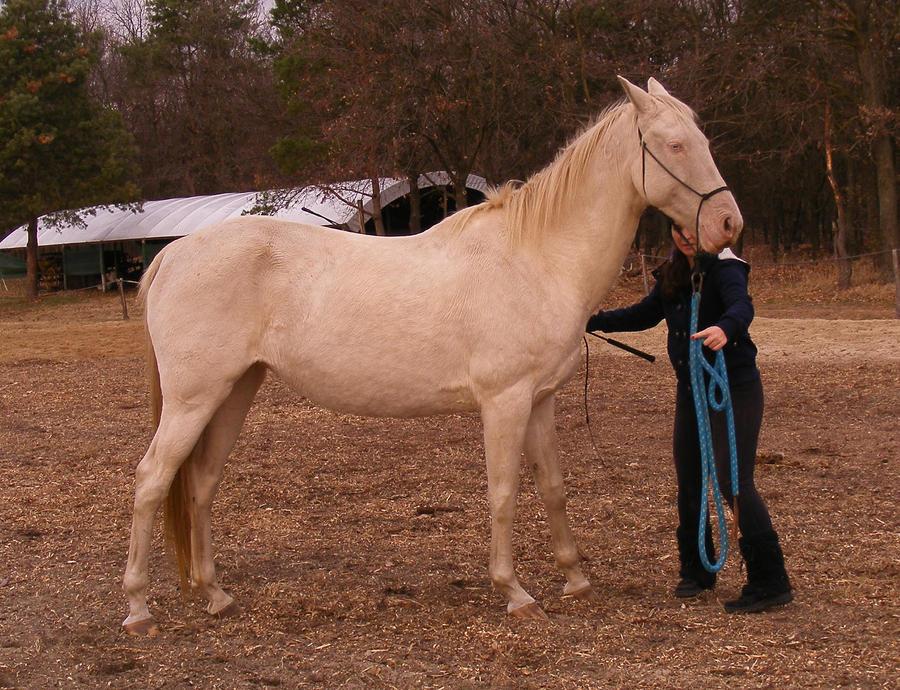 Perlino quarter horse stallion - photo#10