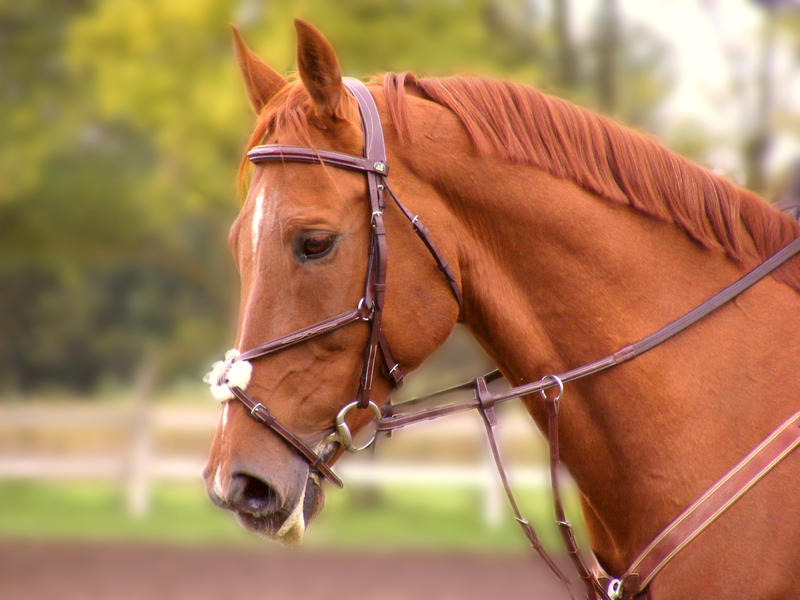Chestnut horse wallpapers - photo#27