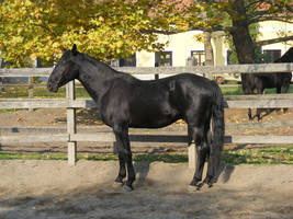 Black nonius stock 12 by LadyAyslinn