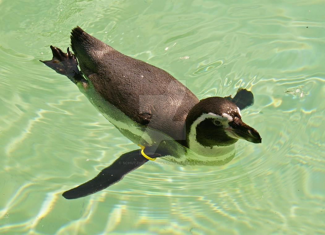 Humbolt Penguin By Schutzhund Chick94 On Deviantart