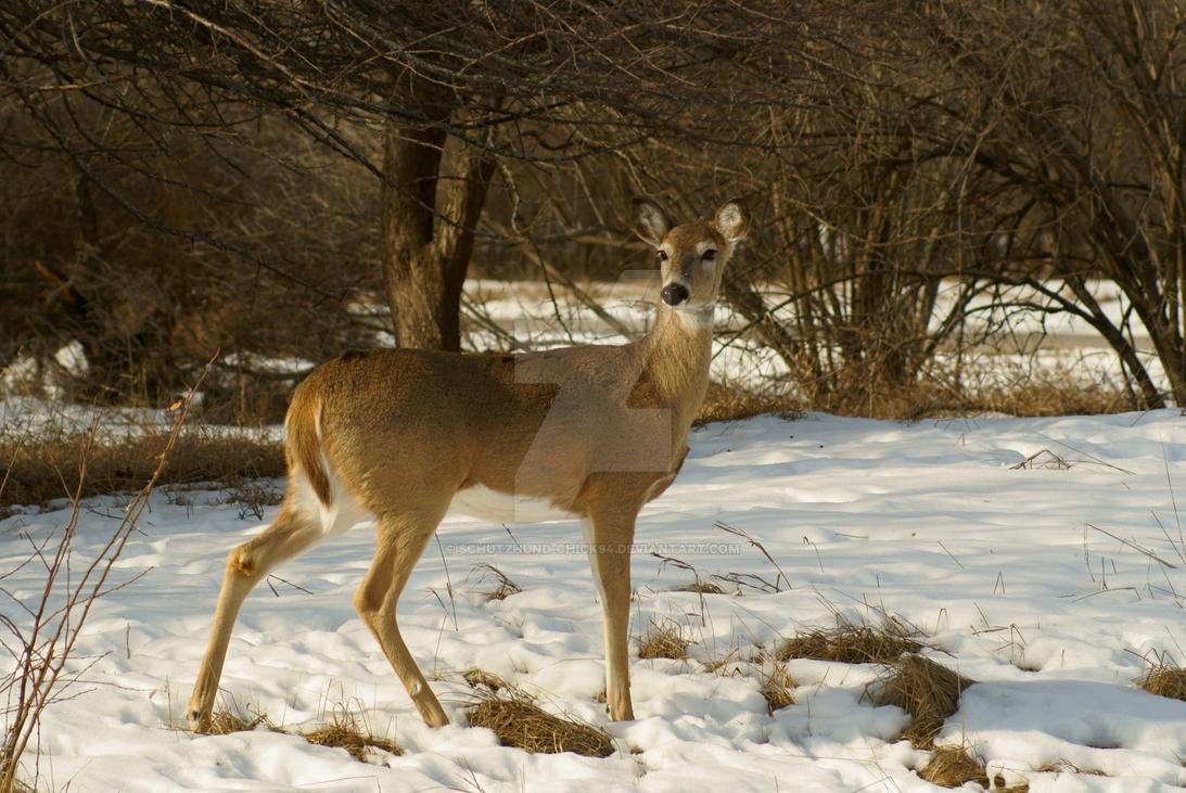White-Tailed Deer by Schutzhund-Chick94