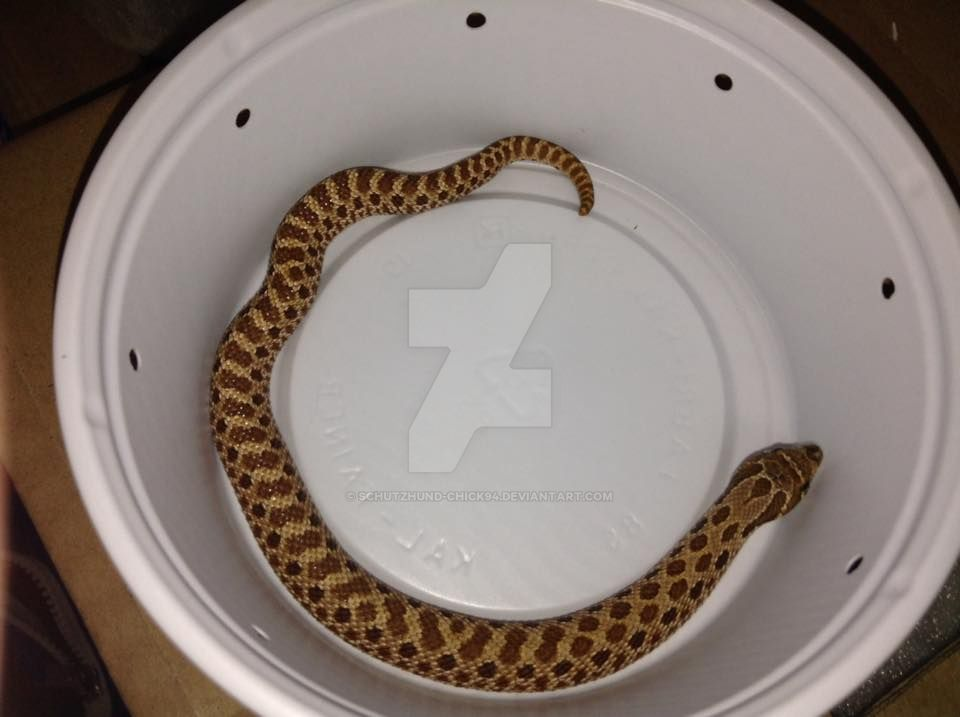 Harley the HOGnose Snake by Schutzhund-Chick94