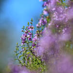 Purple wind.