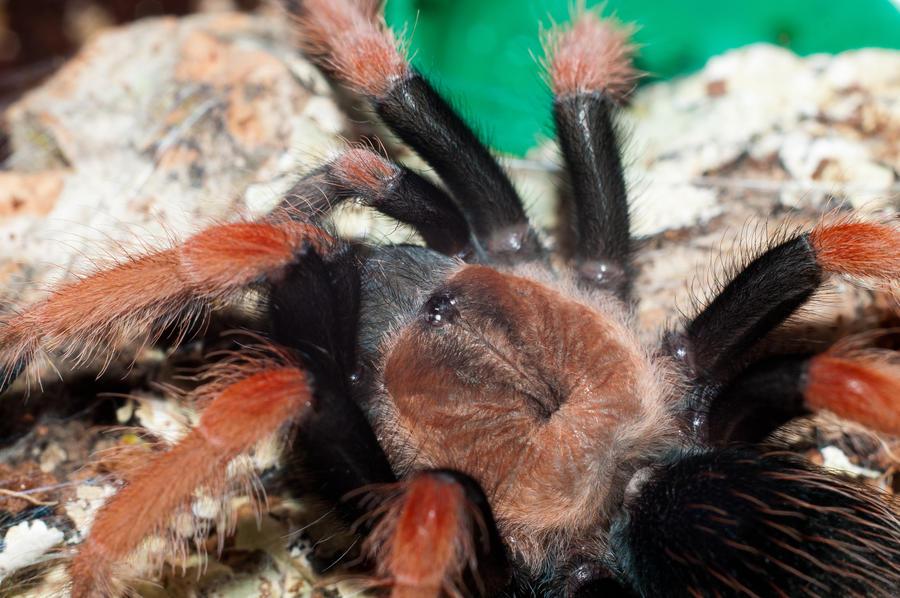 Паук птицеед brachypelma boehmei кривий ріг - зображення 4