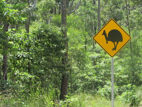 Look out for Cassowaries