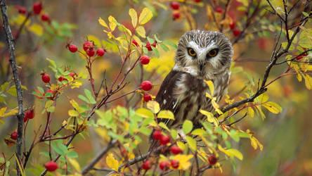 Northern Saw-whet Owl (Aegolius acadicus) by BalochDesign