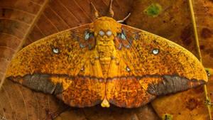 Saturniid moth, Yasuni National Park, Ecuador