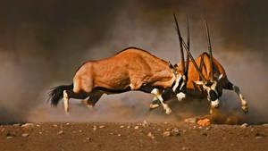 Male gemsboks clash at Etosha National Park,