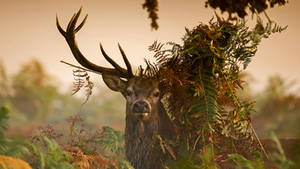 Richmond park of red deer, the United Kingdom,