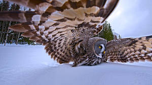 A Great Gray Owl On The Hunt