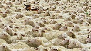 Schafherde mit Ziege, Main-Spessart, Bayern,