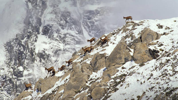 Chamois of Winter Mountain France, The Pyrenees