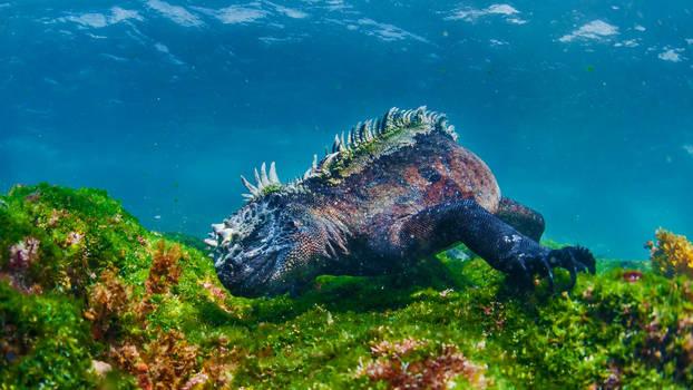 Marine Iguana Eating Algae off Fernandina Island,