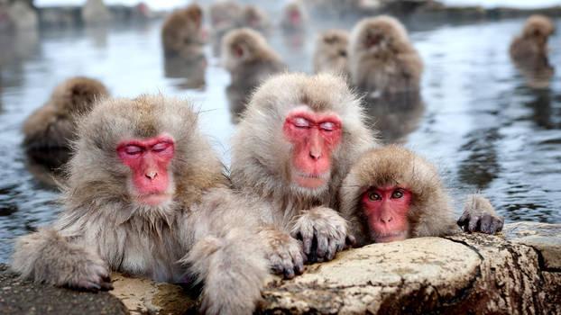 Snow monkeys (Japanese macaques), Nagano, Japan