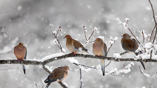 Mourning doves near Bear River