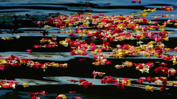 Rose petals in Oceanside Harbor, California