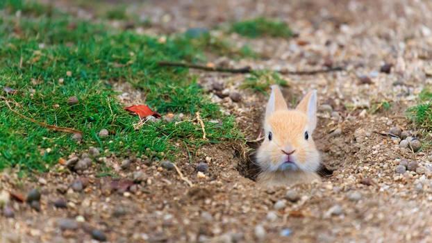 Baby feral domestic rabbit