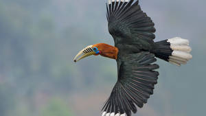 Rufous-necked Hornbill flying in Darjeeling