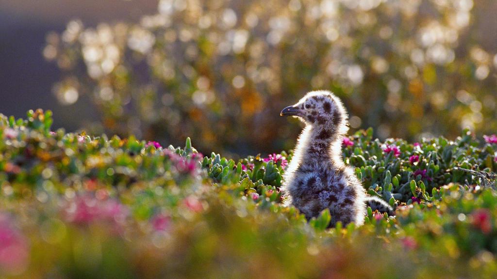 Western gull chick in Channel Islands