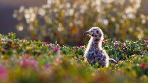 Western gull chick in Channel Islands