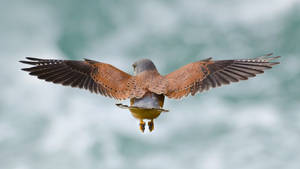 Common kestrel hunting for rodents