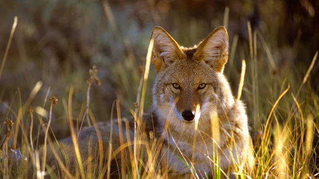Coyote in Black Canyon of the Gunnison