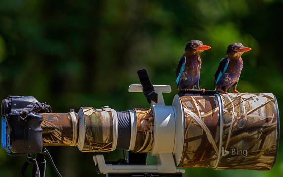 Common Kingfishers Perched on a Camera Lens