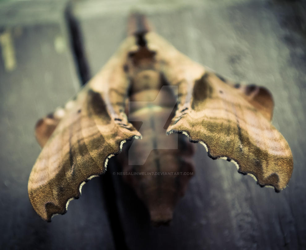 Amorpha juglandis by nessalinwelin7
