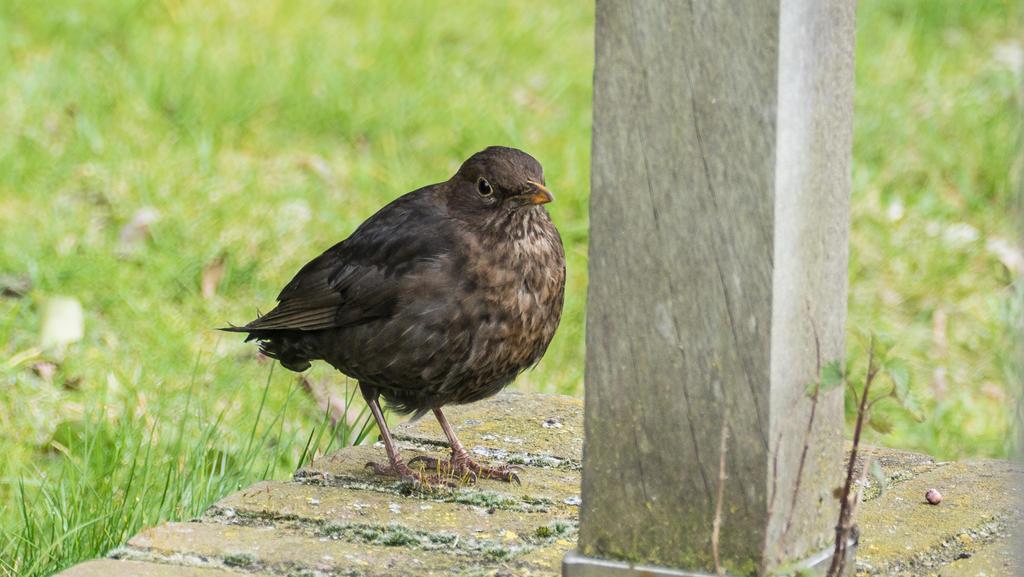 Female blackbird by chetje