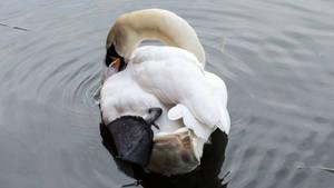 Mute swan back side