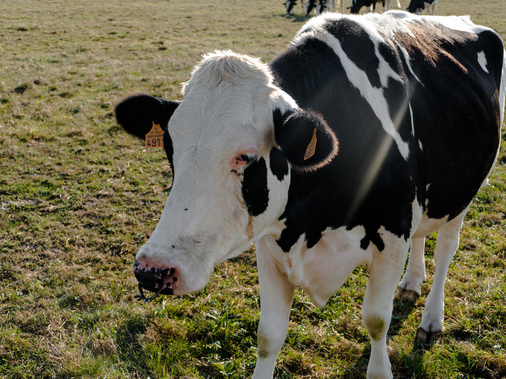 A Cow Or Calf Receives A Nose Ring With Spines By Chetje On Deviantart