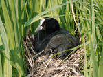 Coot on nest, it's spring