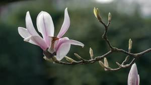 Magnolia tree by chetje