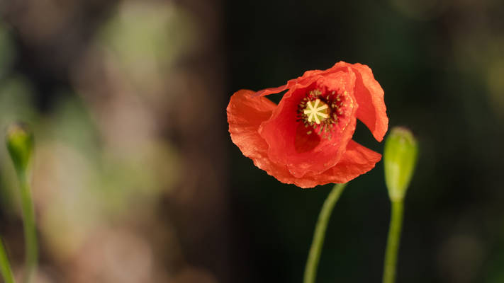 Sweet poppy spring_time 2020