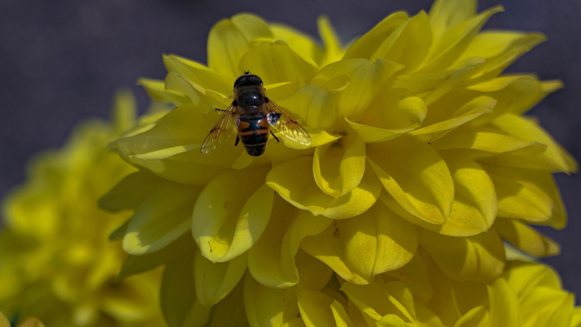 Yellow hrizantema bzzz