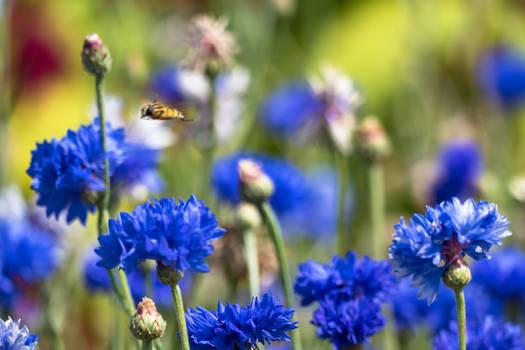 Bzzz blue cornflower