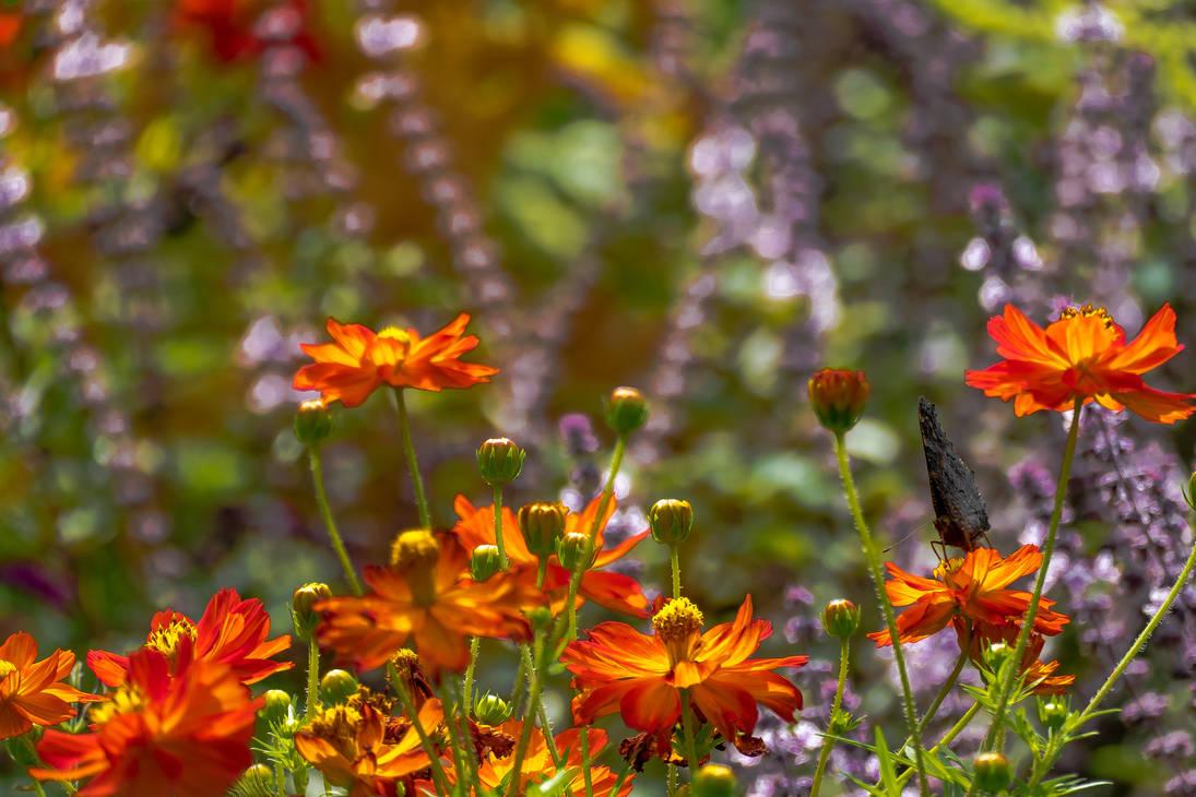 Cosmos sulphureus - Asteraceae