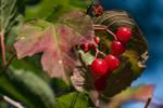 Guelder Rose, European Cranberry Bush