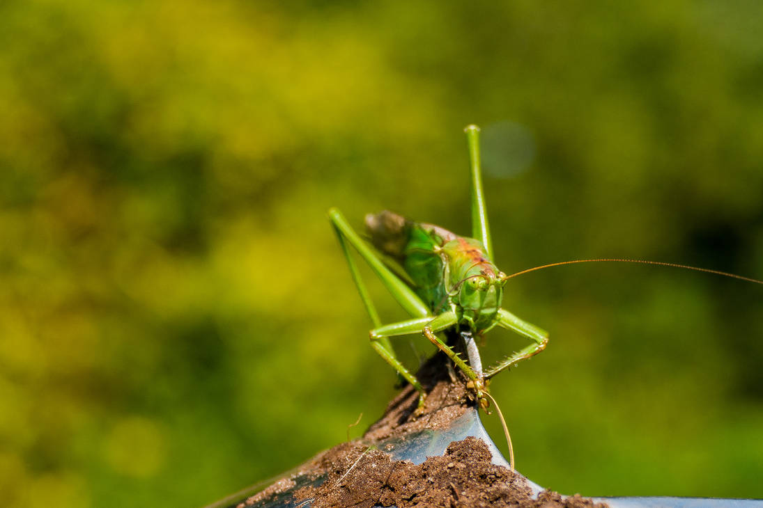 HI_ Green grasshopper