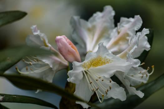 White blossom  Lilium