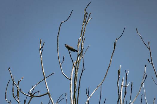 A cuckoo bird, high in the tree