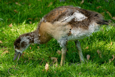 Egyptian goose_young chick