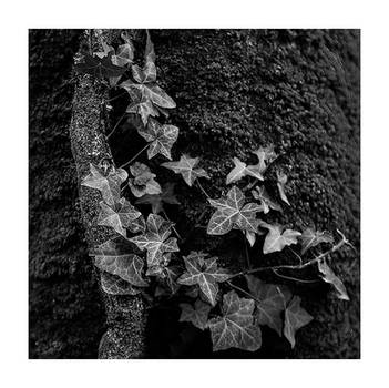 Ivy on the Holly Walk by PeterLovelock
